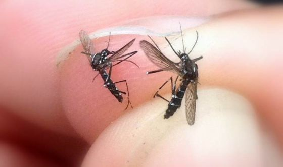 identificar-mosquito-tigre